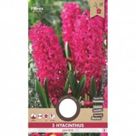 Bloembol (VJ) Hyacinthus Jan Bos rood