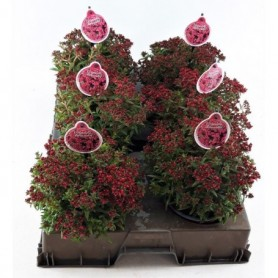 Bloemen najaar Crassula Schmidtii Rood