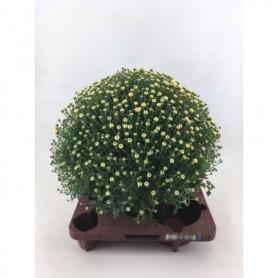 Bloemen najaar Chrysanthemum Wit