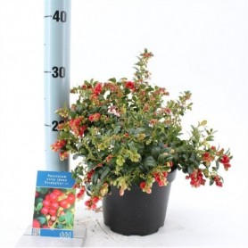 Bloemen najaar Vaccinium Vitis-idaea Fireballs