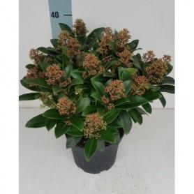 Bloemen najaar Skimmia japonica Rubella