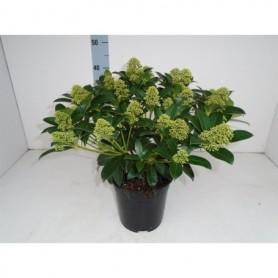 Bloemen najaar Skimmia japonica Fragrant Cloud